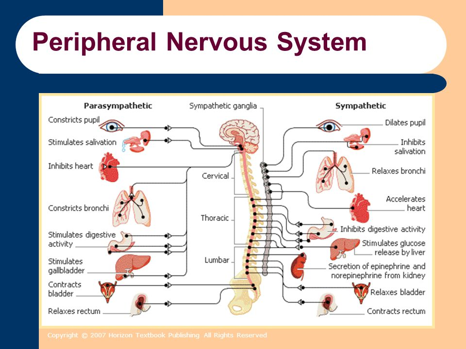 Copyright © 2007 Horizon Textbook Publishing All Rights Reserved Peripheral Nervous System