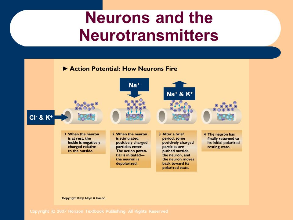 Copyright © 2007 Horizon Textbook Publishing All Rights Reserved Central Nervous System Brainstem (continued) –Reticular Formation or Reticular Activating System (RAS) Neural circuits extending from lower brain to thalamus that play a critical role in arousal and alertness.