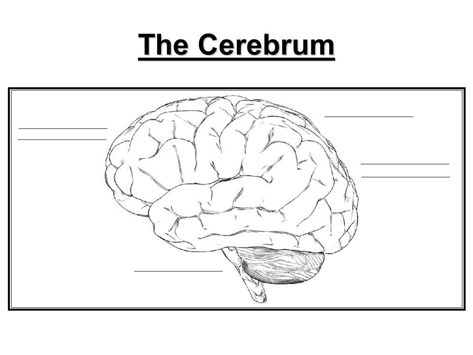10 The Cerebrum