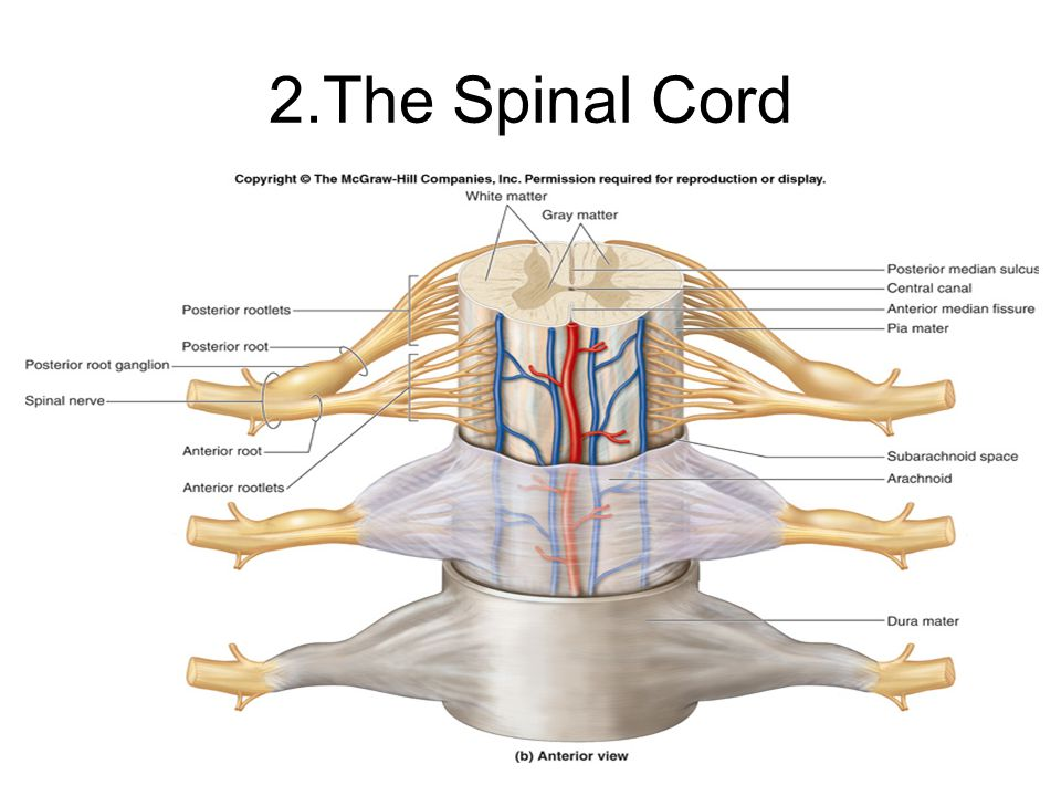 16 2.The Spinal Cord