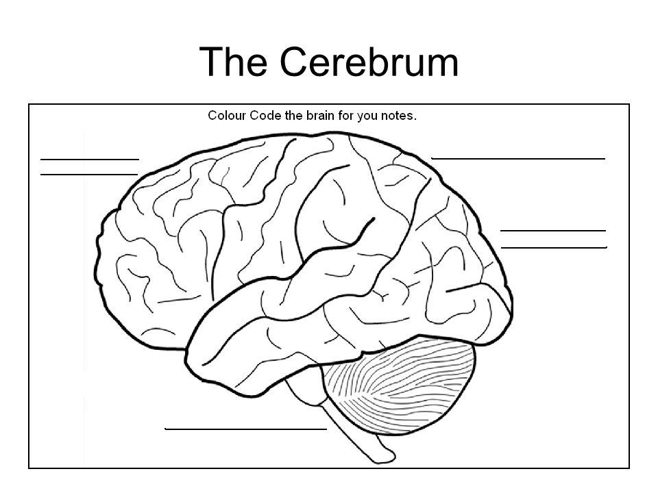 28 The Cerebrum