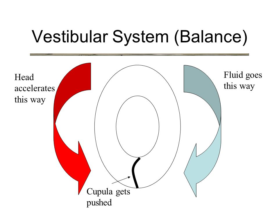 Vestibular System (Balance) Head accelerates this way Cupula gets pushed Fluid goes this way