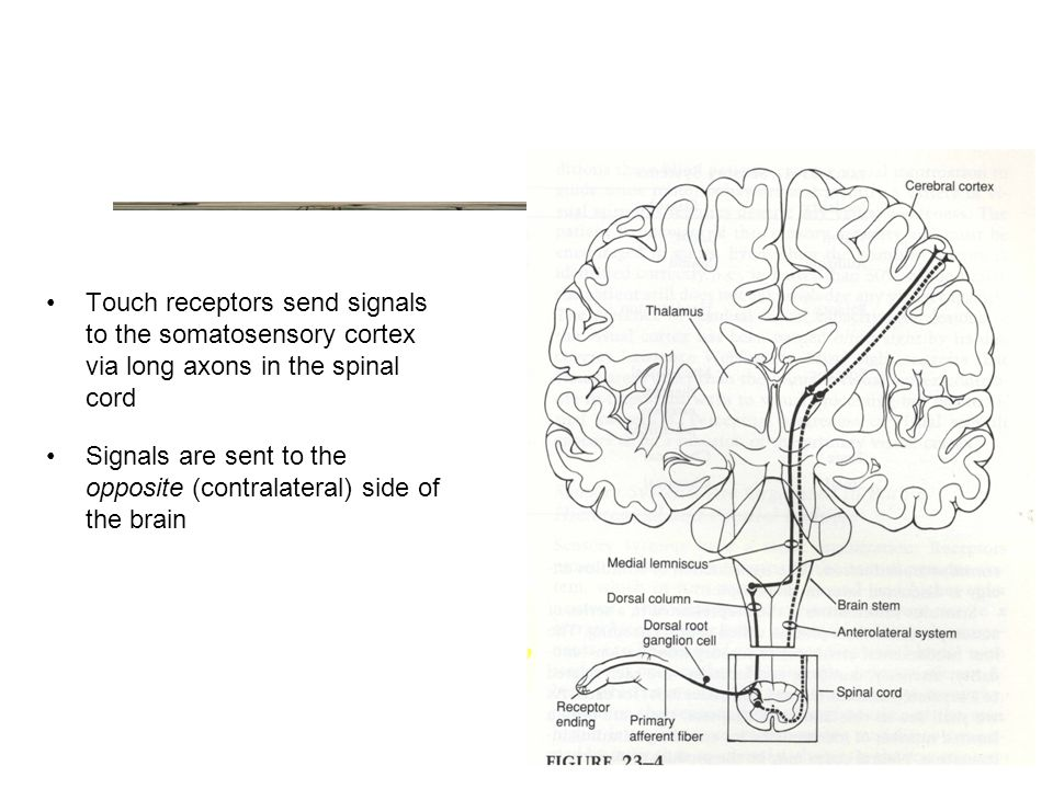 Touch receptors send signals to the somatosensory cortex via long axons in the spinal cord Signals are sent to the opposite (contralateral) side of the brain