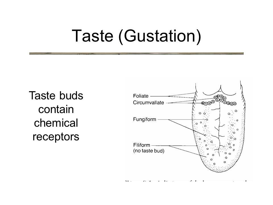 Taste (Gustation) Taste buds contain chemical receptors