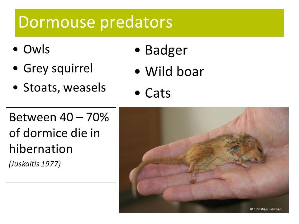 Dormouse predators Badger Wild boar Cats Owls Grey squirrel Stoats, weasels Between 40 – 70% of dormice die in hibernation (Juskaitis 1977)