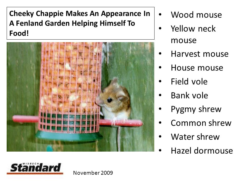 Cheeky Chappie Makes An Appearance In A Fenland Garden Helping Himself To Food! November 2009 Wood mouse Yellow neck mouse Harvest mouse House mouse F