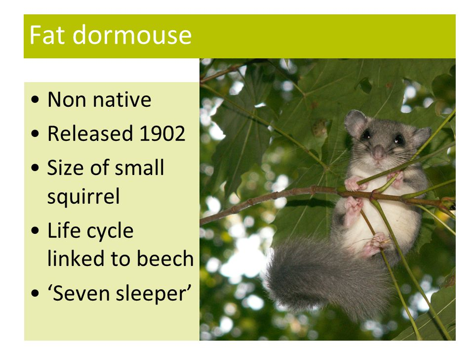 Fat dormouse Non native Released 1902 Size of small squirrel Life cycle linked to beech 'Seven sleeper'