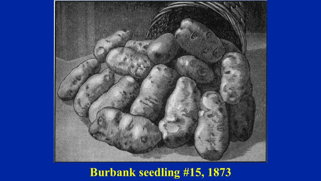 Burbank seedling #15, 1873