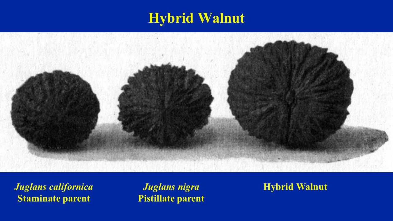 Hybrid Walnut Juglans californica Staminate parent Juglans nigra Pistillate parent Hybrid Walnut