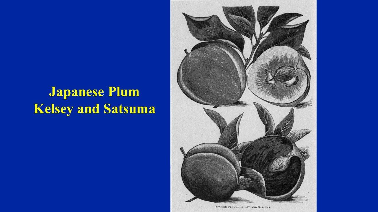 Japanese Plum Kelsey and Satsuma