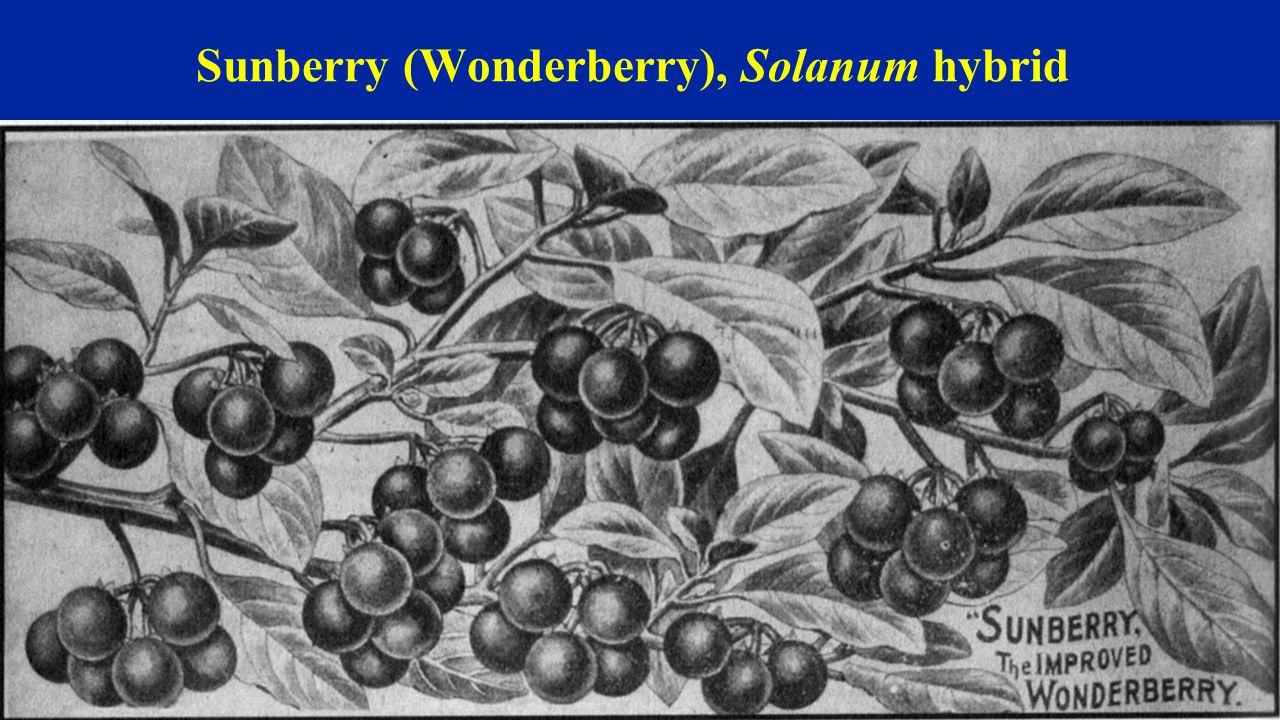 Sunberry (Wonderberry), Solanum hybrid