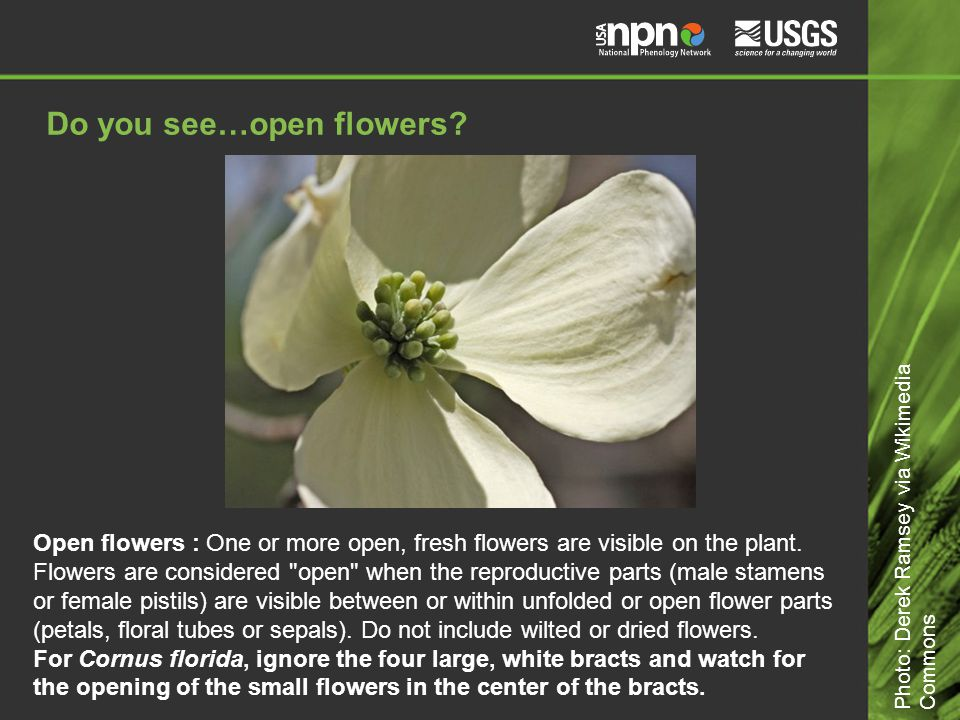 Do you see…open flowers. Open flowers : One or more open, fresh flowers are visible on the plant.