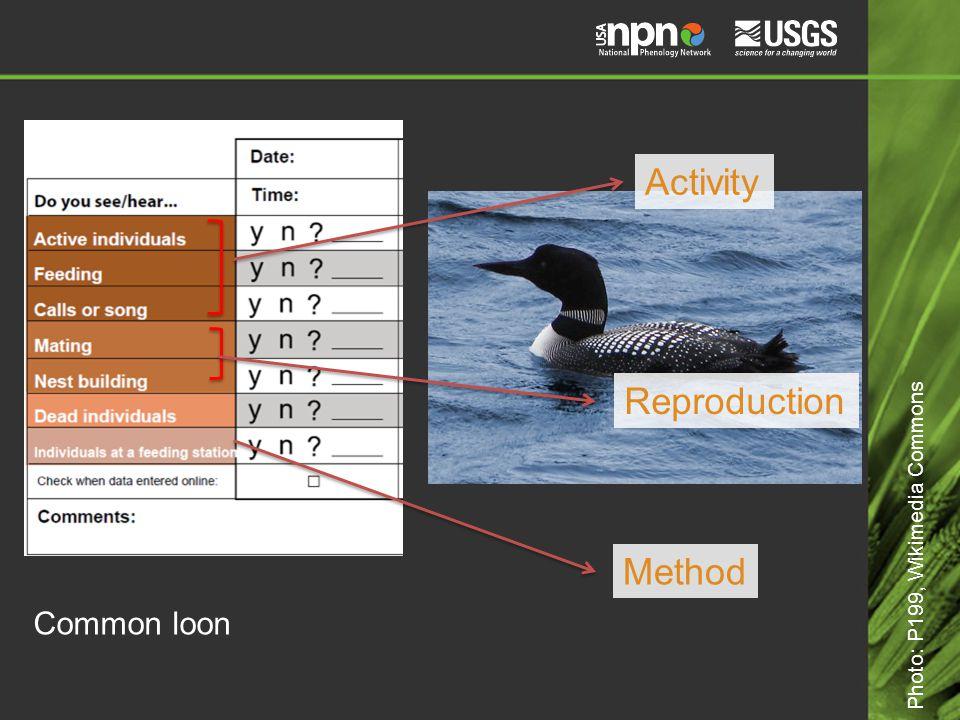 Common loon Activity Reproduction Method Photo: P199, Wikimedia Commons