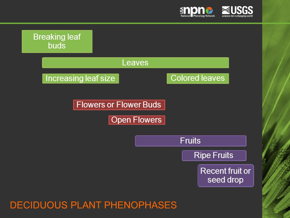 Breaking leaf buds Leaves Increasing leaf size Colored leaves Flowers or Flower Buds Open Flowers FruitsRipe Fruits Recent fruit or seed drop DECIDUOUS PLANT PHENOPHASES