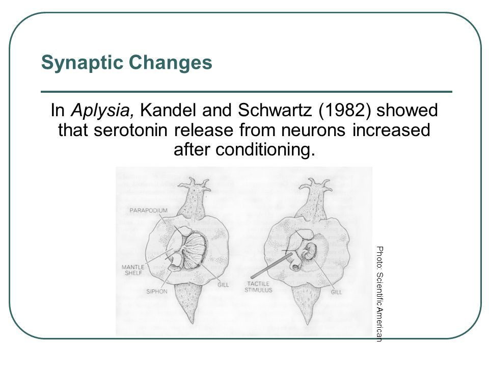 Synaptic Changes Long-Term Potentiation (LTP) refers to synaptic enhancement after learning (Lynch, 2002). An increase in neurotransmitter release or