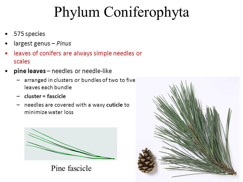 Phylum Coniferophyta Characteristics Phylum Coniferophyta 575