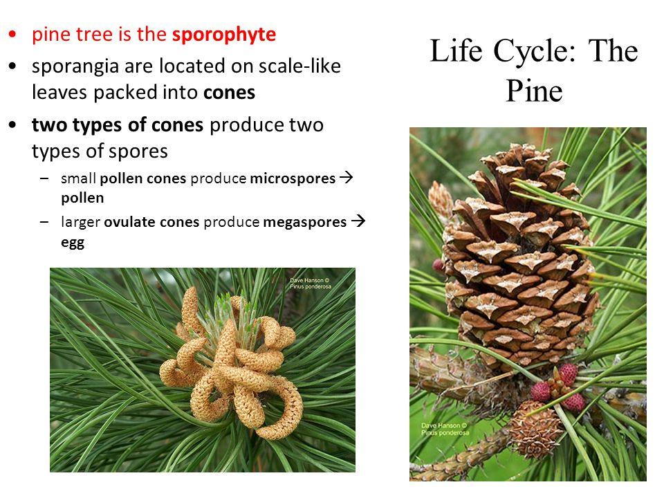 Life Cycle: The Pine pine tree is the sporophyte sporangia are located on scale-like leaves packed into cones two types of cones produce two types of