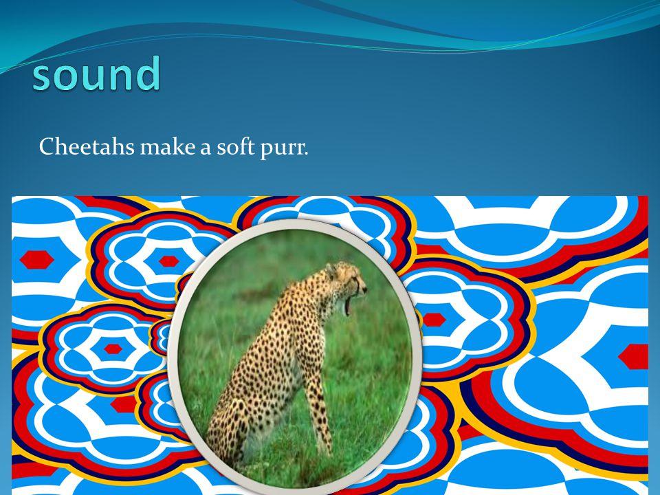 Cheetahs make a soft purr.
