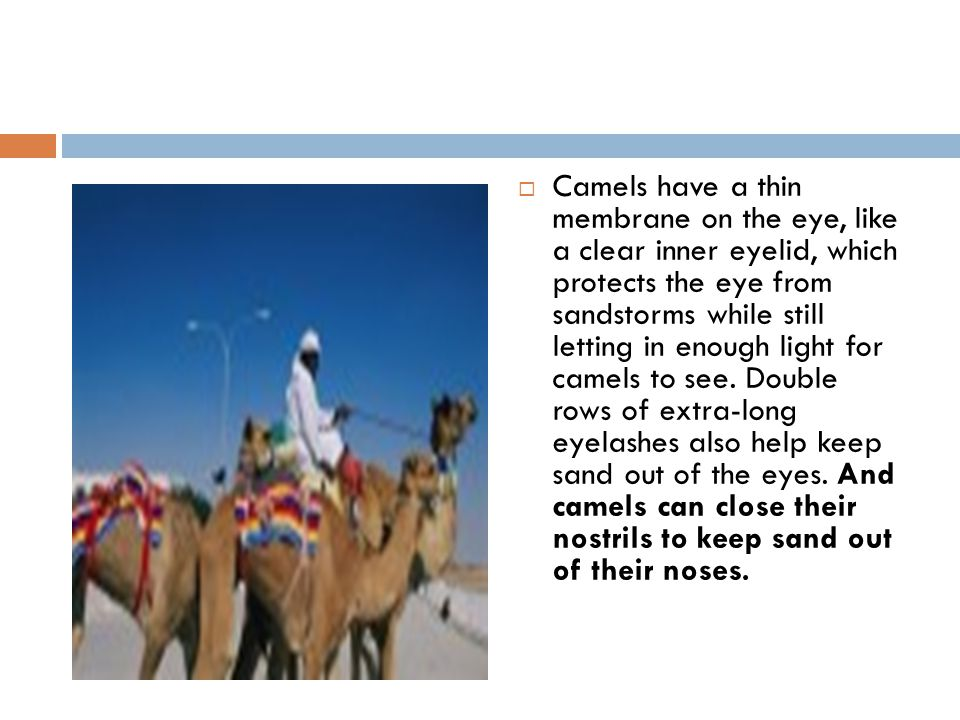  Camels have a thin membrane on the eye, like a clear inner eyelid, which protects the eye from sandstorms while still letting in enough light for ca