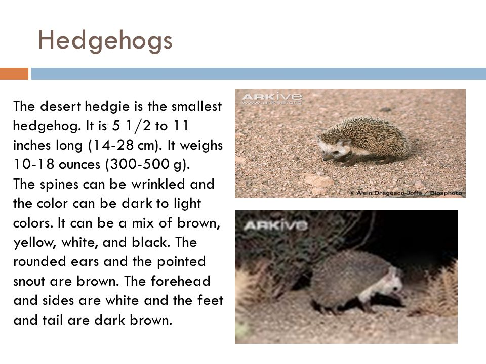 Hedgehogs The desert hedgie is the smallest hedgehog.