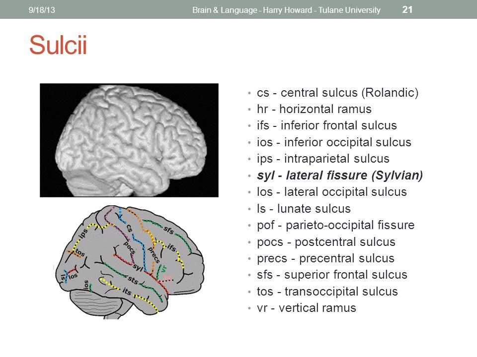 Sulcii cs - central sulcus (Rolandic) hr - horizontal ramus ifs - inferior frontal sulcus ios - inferior occipital sulcus ips - intraparietal sulcus syl - lateral fissure (Sylvian) los - lateral occipital sulcus ls - lunate sulcus pof - parieto-occipital fissure pocs - postcentral sulcus precs - precentral sulcus sfs - superior frontal sulcus tos - transoccipital sulcus vr - vertical ramus 9/18/13Brain & Language - Harry Howard - Tulane University 21