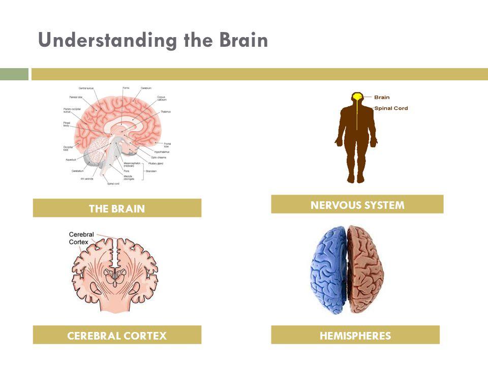 Understanding the Brain HEMISPHERES NERVOUS SYSTEM CEREBRAL CORTEX THE BRAIN