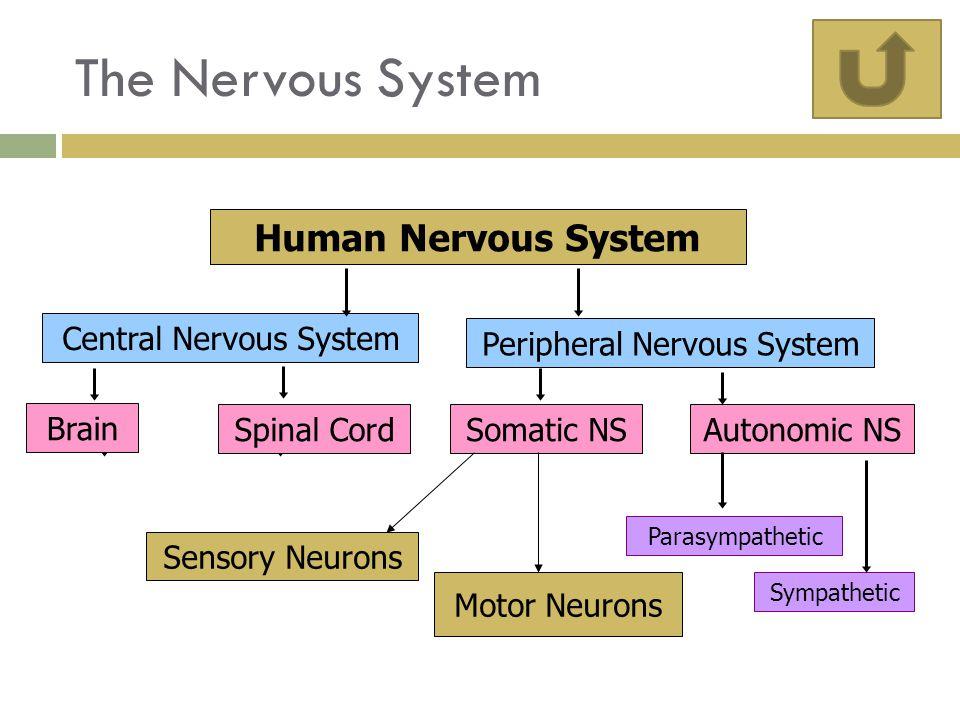 Human Nervous System Central Nervous System Peripheral Nervous System Brain Spinal CordSomatic NSAutonomic NS Parasympathetic Sympathetic Sensory Neurons Motor Neurons The Nervous System