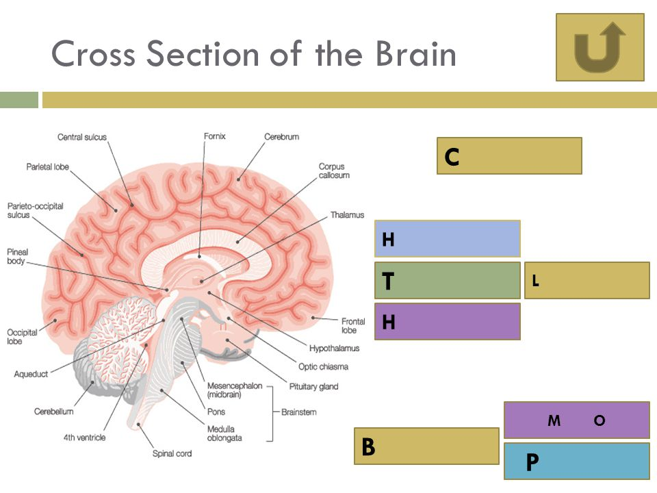 Cross Section of the Brain C T H L B P H M O