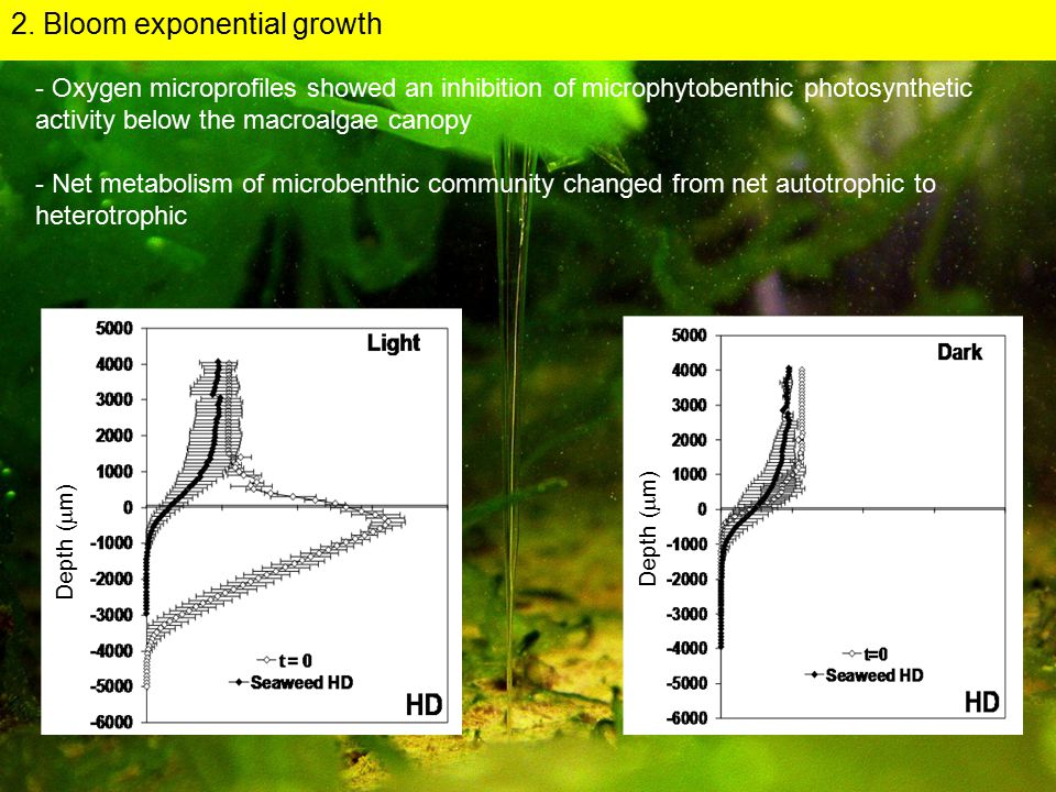 - Oxygen microprofiles showed an inhibition of microphytobenthic photosynthetic activity below the macroalgae canopy - Net metabolism of microbenthic community changed from net autotrophic to heterotrophic Depth (  m) 2.