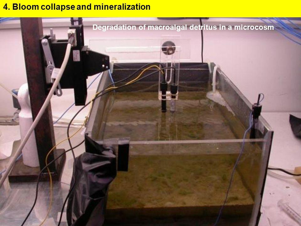 Degradation of macroalgal detritus in a microcosm