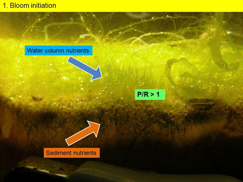 2. Bloom exponential growth Macroalgae P/R > 1