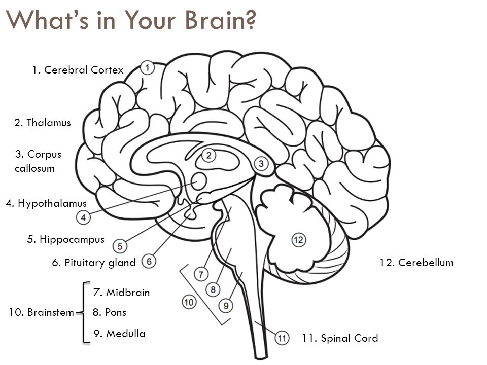 What's in Your Brain. 1. Cerebral Cortex 2. Thalamus 3.