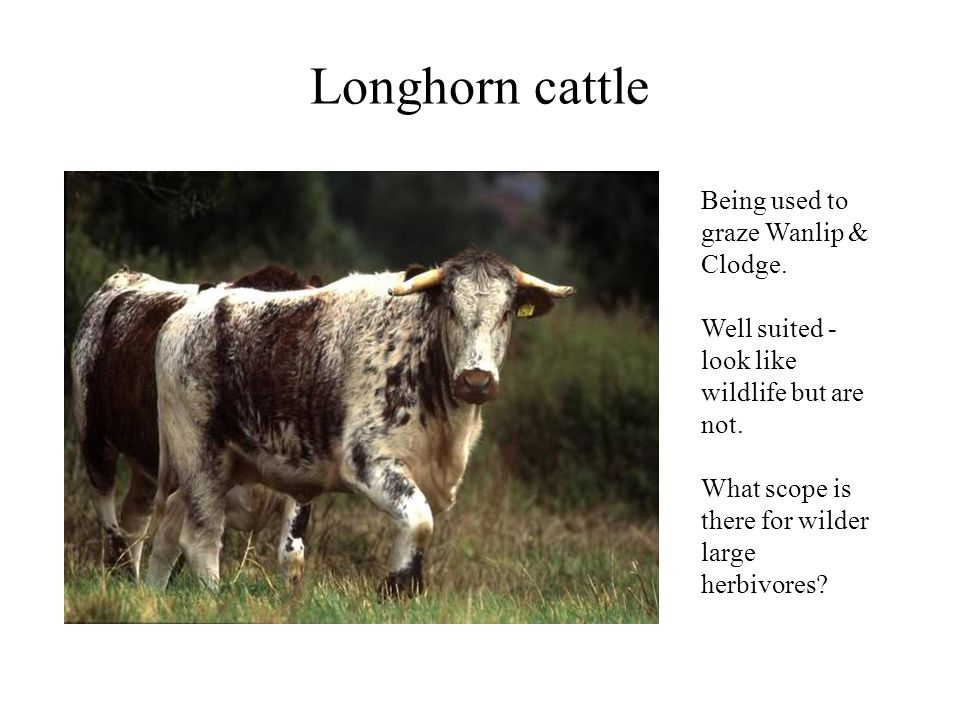 Longhorn cattle Being used to graze Wanlip & Clodge. Well suited - look like wildlife but are not. What scope is there for wilder large herbivores?