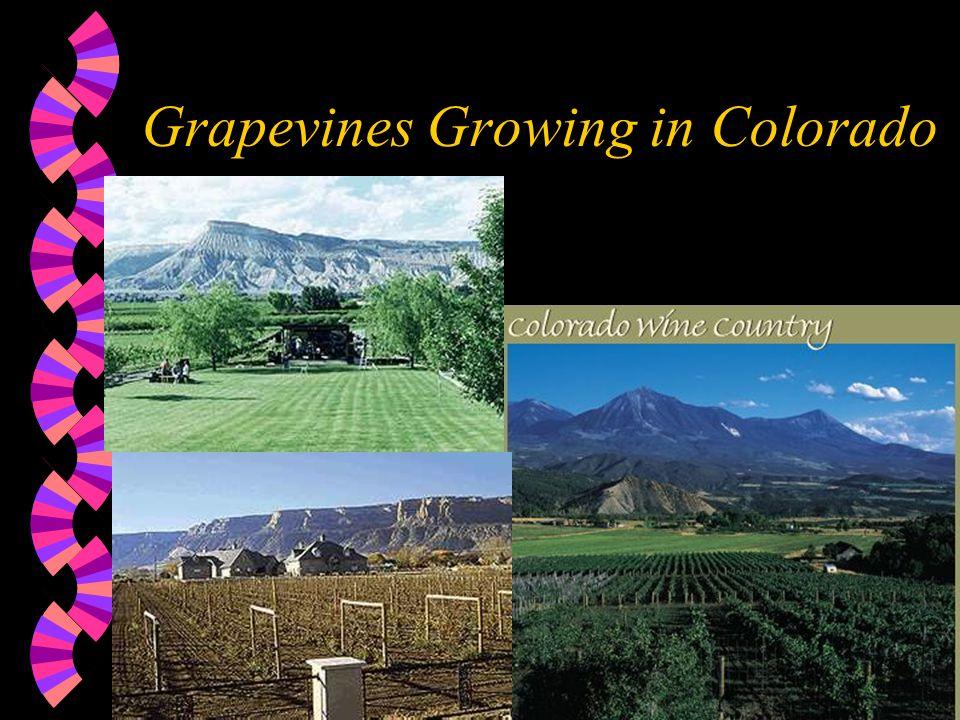 Grapevines Growing in Colorado