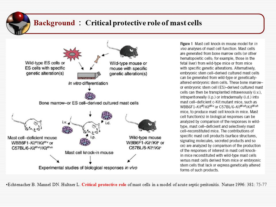 Background : Critical protective role of mast cells Echtenacher B.