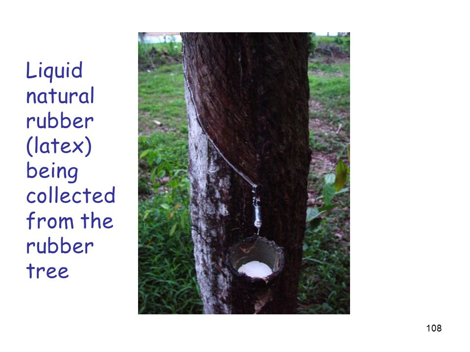108 Liquid natural rubber (latex) being collected from the rubber tree