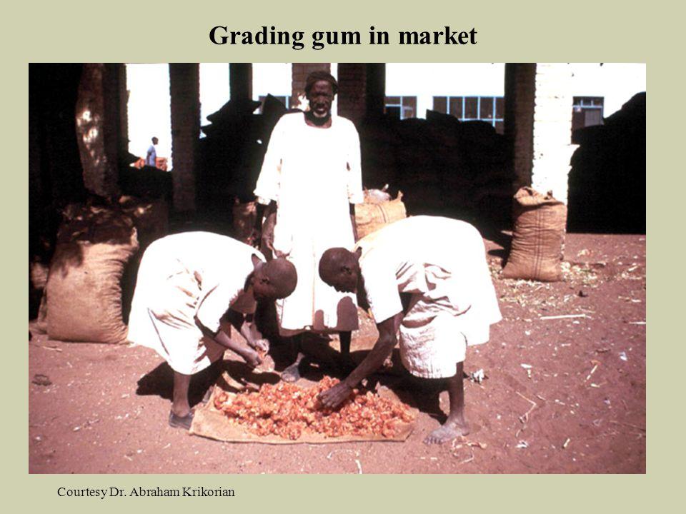 Grading gum in market Courtesy Dr. Abraham Krikorian