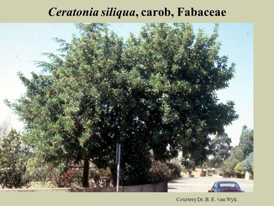 Ceratonia siliqua, carob, Fabaceae Courtesy Dr. B. E. van Wyk