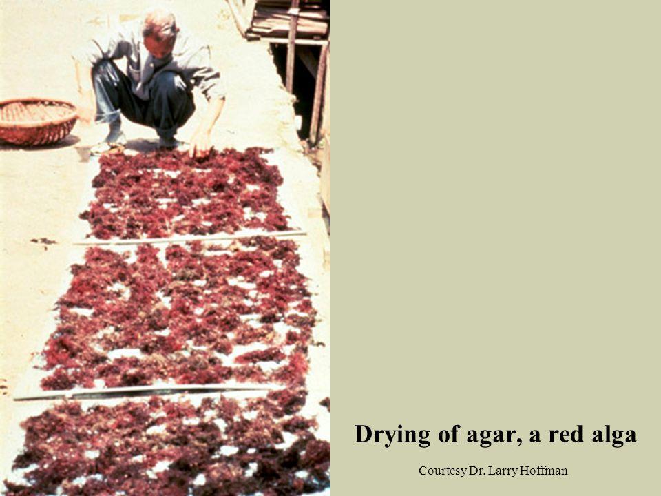 Drying of agar, a red alga Courtesy Dr. Larry Hoffman