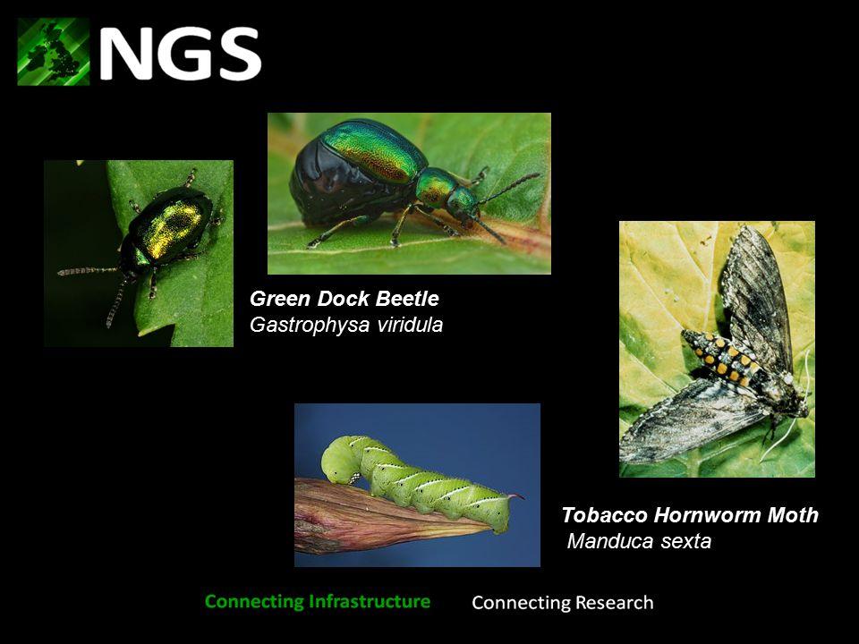 Tobacco Hornworm Moth Manduca sexta Green Dock Beetle Gastrophysa viridula