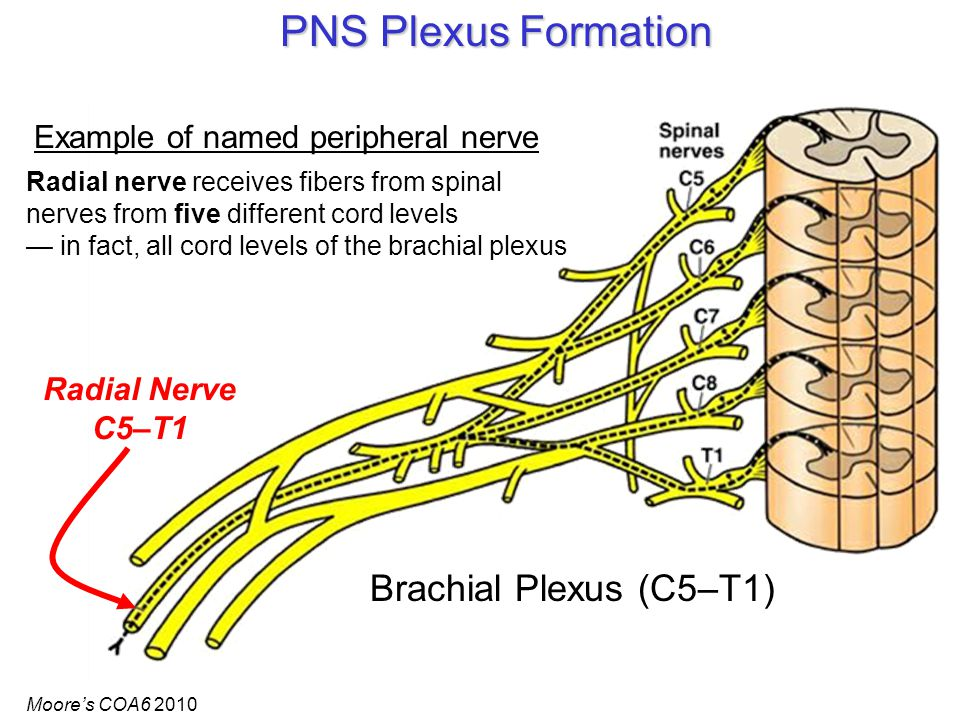 PNS Plexus Formation Brachial Plexus (C5–T1) Radial Nerve C5–T1 Example of named peripheral nerve Radial nerve receives fibers from spinal nerves from five different cord levels — in fact, all cord levels of the brachial plexus