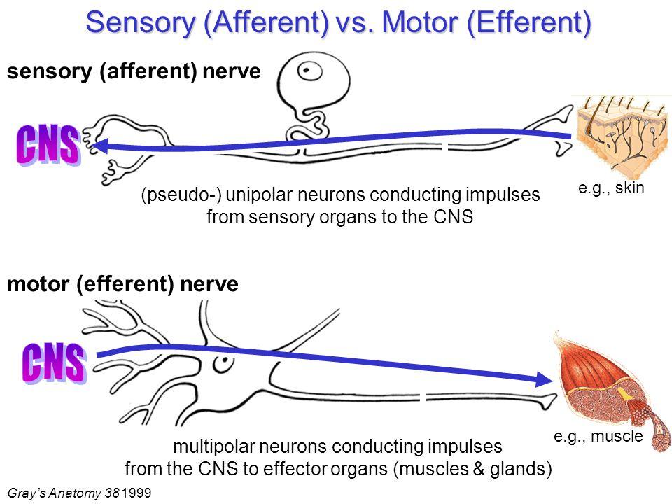 Sensory (Afferent) vs.