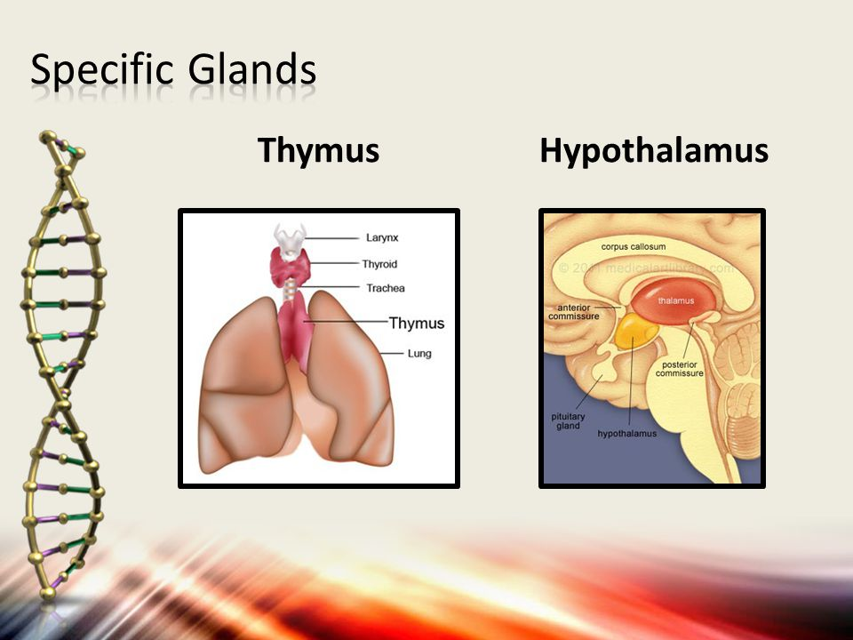 Thymus  right next to the heart Hypothalamus  above the brain stem