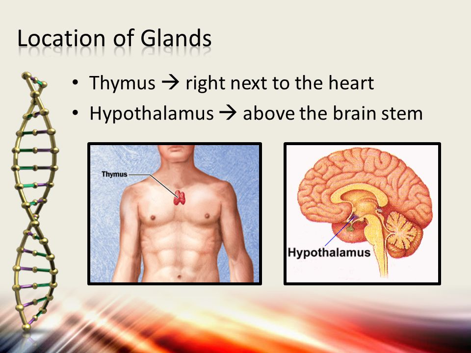 1.Describe the main function for the thymus and hypothalamus, and state where each is located.