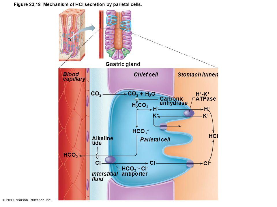 © 2013 Pearson Education, Inc. HCI Parietal cell Interstitial fluid HCO 3 − - Cl − antiporter Alkaline tide H + -K + ATPase Stomach lumenChief cell Ga