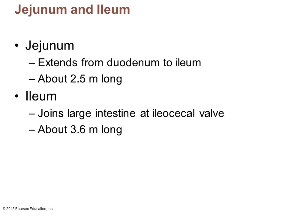 © 2013 Pearson Education, Inc. Jejunum and Ileum Jejunum –Extends from duodenum to ileum –About 2.5 m long Ileum –Joins large intestine at ileocecal v