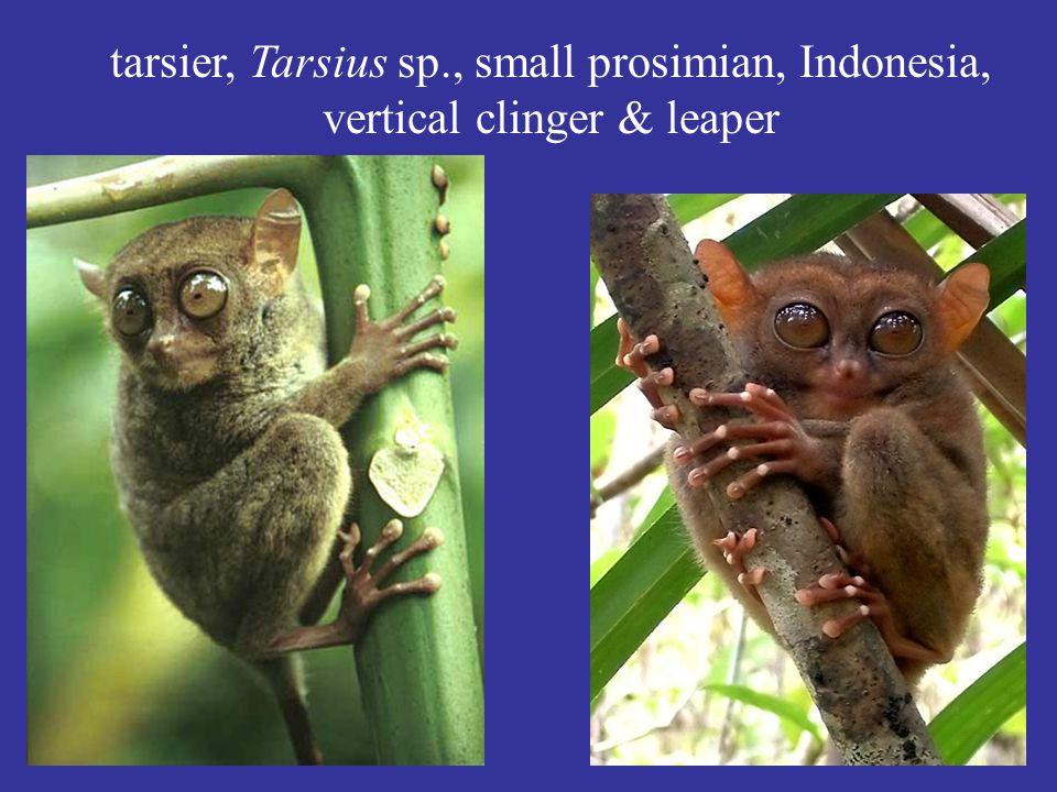 tarsier, Tarsius sp., small prosimian, Indonesia, vertical clinger & leaper