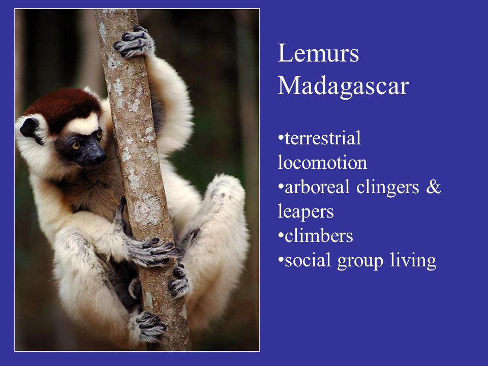 Lemurs Madagascar terrestrial locomotion arboreal clingers & leapers climbers social group living