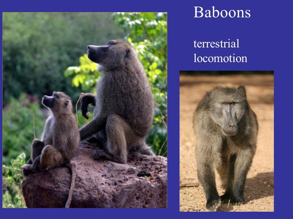 Baboons terrestrial locomotion
