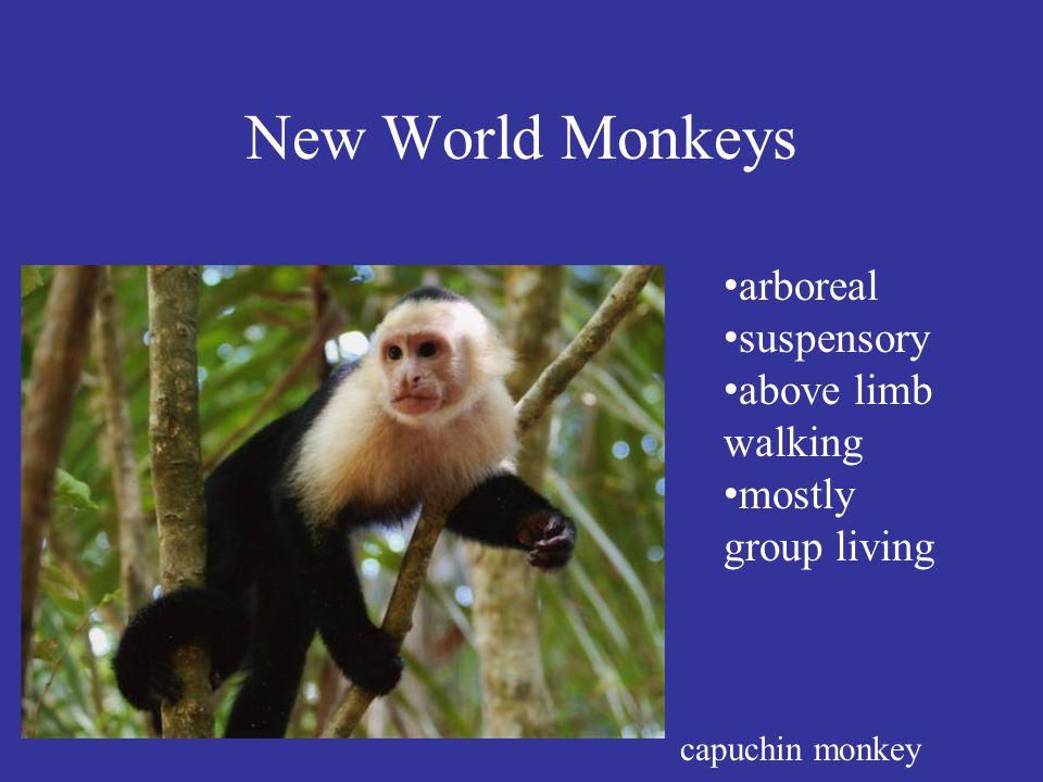 New World Monkeys capuchin monkey arboreal suspensory above limb walking mostly group living